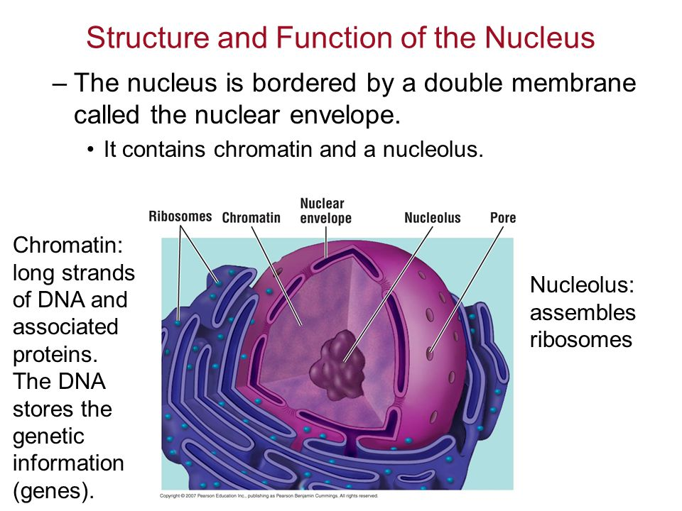 Structure and Function of the Nucleus –The nucleus is bordered by a double membrane called the nuclear envelope.