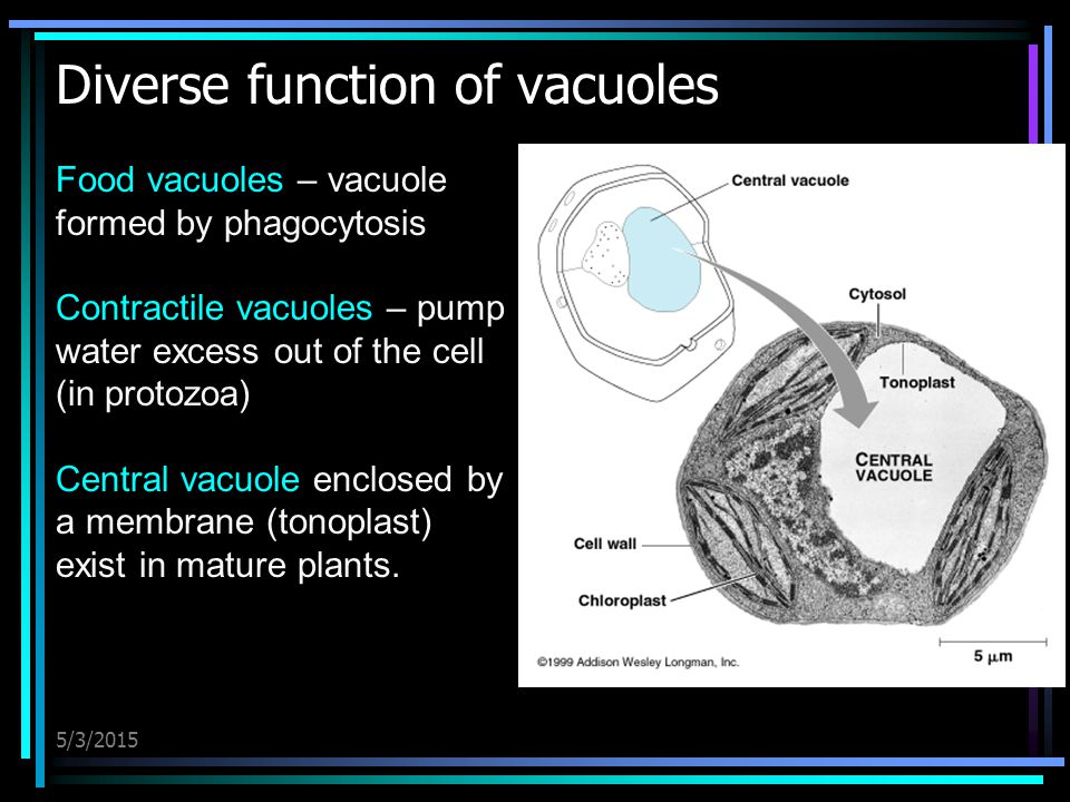 5/3/2015 Diverse function of vacuoles Food vacuoles – vacuole formed by phagocytosis Contractile vacuoles – pump water excess out of the cell (in prot
