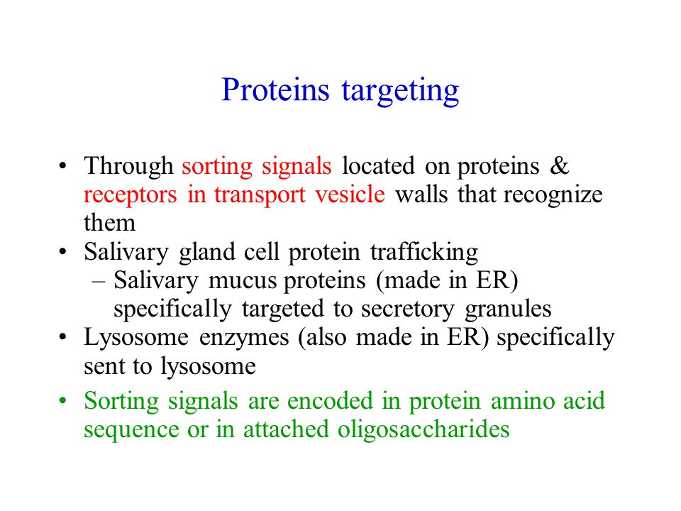 Proteins targeting Through sorting signals located on proteins & receptors in transport vesicle walls that recognize them Salivary gland cell protein trafficking –Salivary mucus proteins (made in ER) specifically targeted to secretory granules Lysosome enzymes (also made in ER) specifically sent to lysosome Sorting signals are encoded in protein amino acid sequence or in attached oligosaccharides