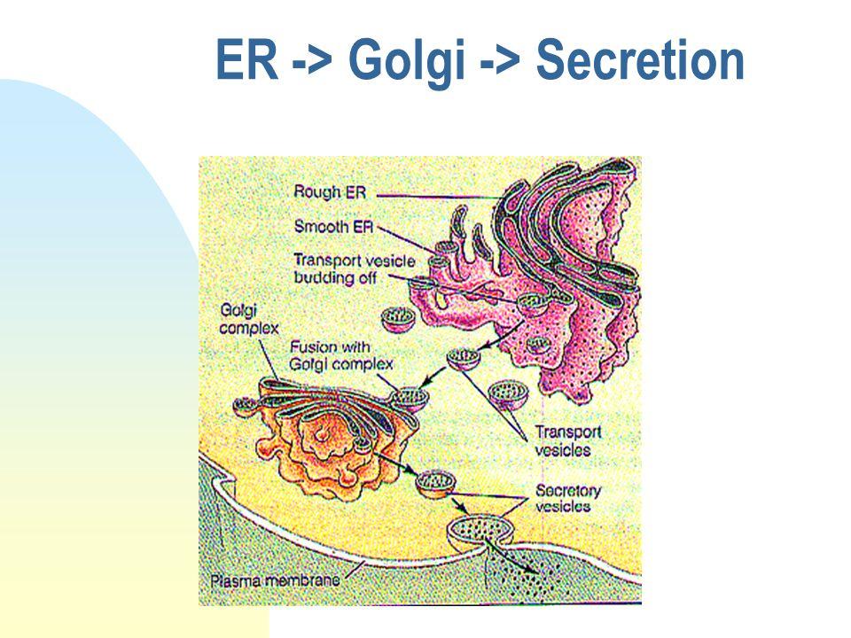 ER -> Golgi -> Secretion