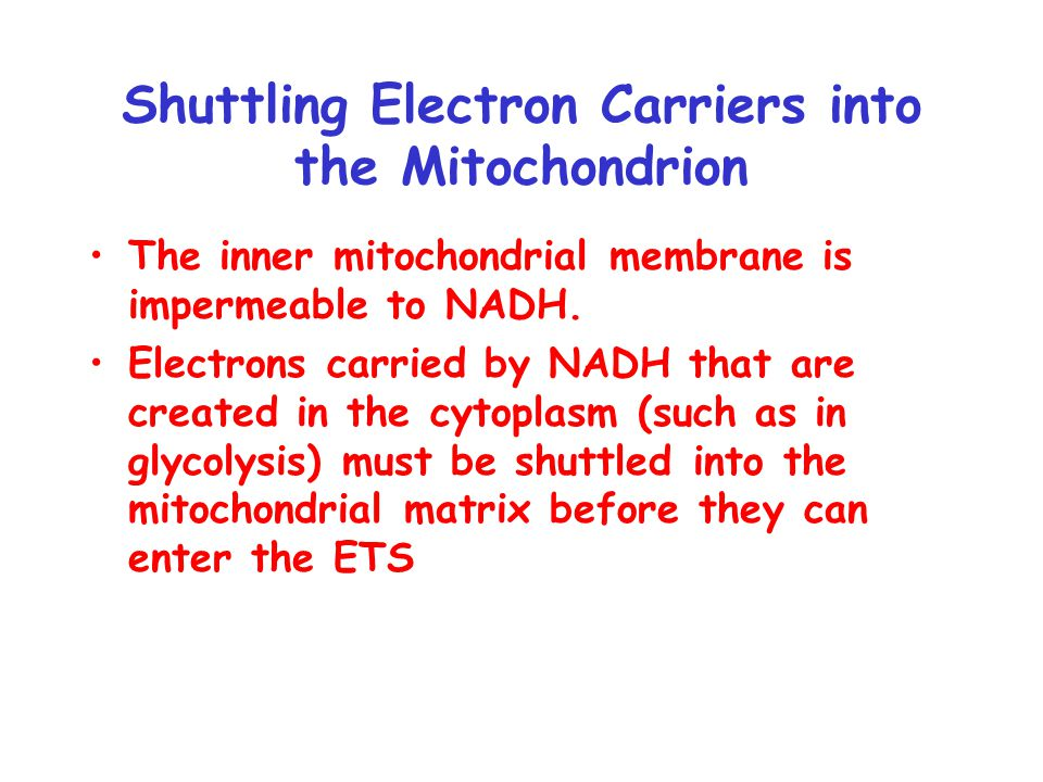 Shuttling Electron Carriers into the Mitochondrion The inner mitochondrial membrane is impermeable to NADH.