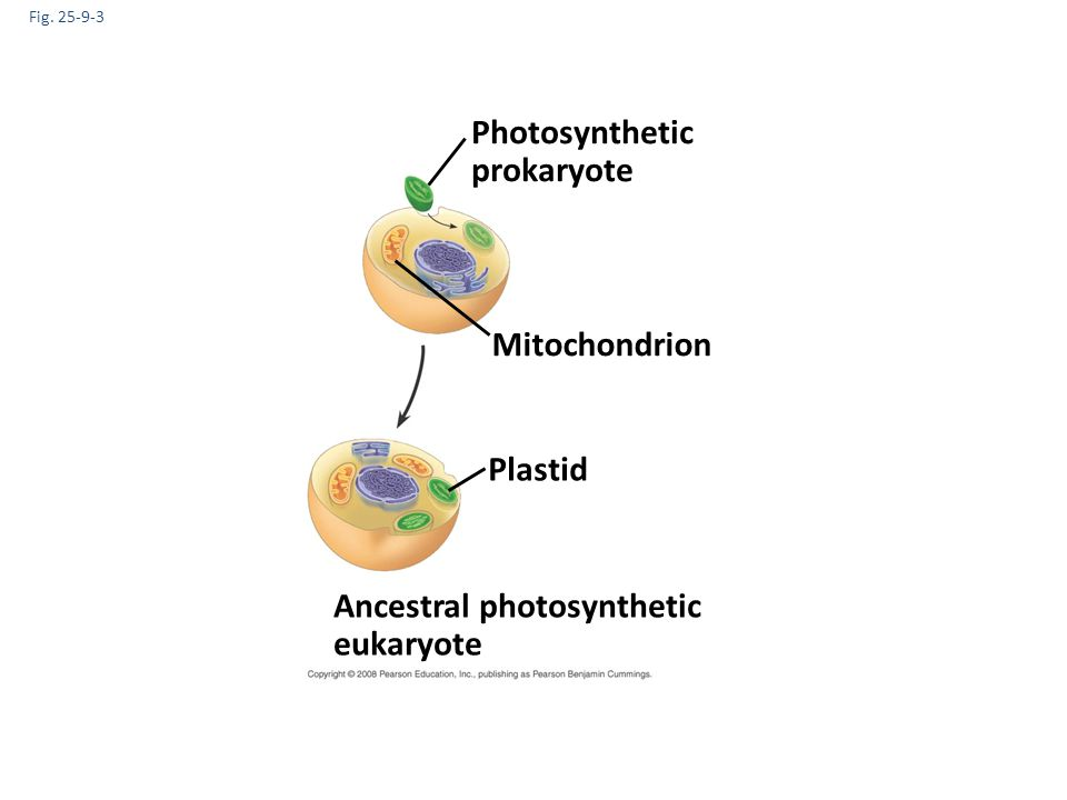 Fig. 25-9-3 Ancestral photosynthetic eukaryote Photosynthetic prokaryote Mitochondrion Plastid