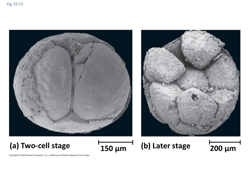 Fig. 25-11 (a) Two-cell stage 150 µm 200 µm (b) Later stage