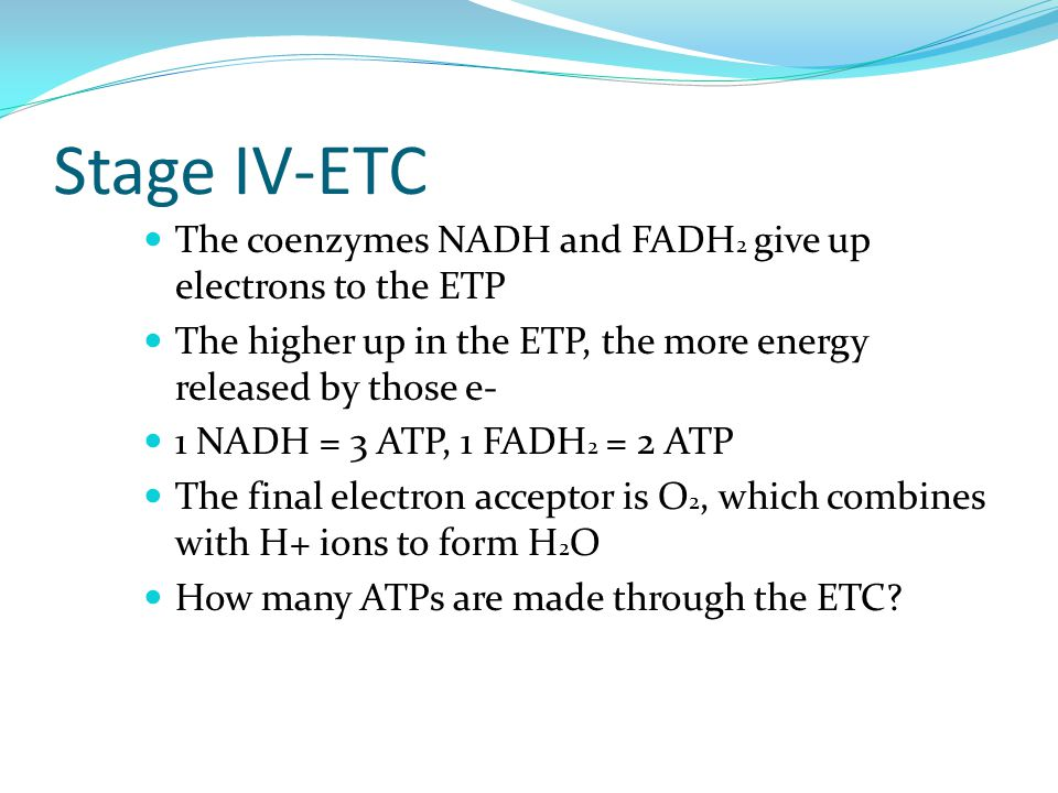 Stage IV-ETC The coenzymes NADH and FADH 2 give up electrons to the ETP The higher up in the ETP, the more energy released by those e- 1 NADH = 3 ATP, 1 FADH 2 = 2 ATP The final electron acceptor is O 2, which combines with H+ ions to form H 2 O How many ATPs are made through the ETC