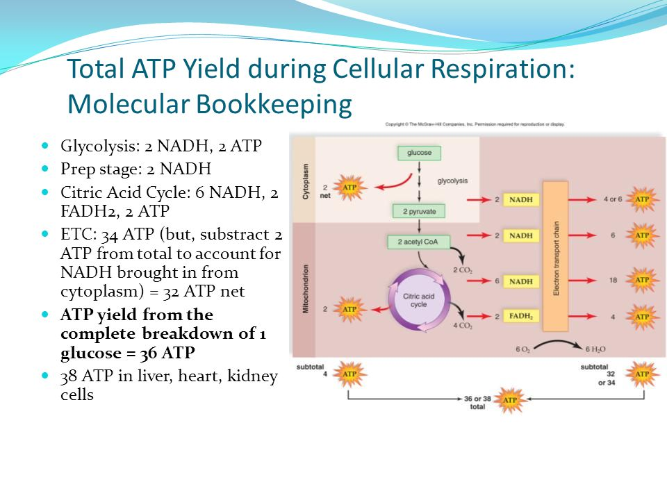 Total ATP Yield during Cellular Respiration: Molecular Bookkeeping Glycolysis: 2 NADH, 2 ATP Prep stage: 2 NADH Citric Acid Cycle: 6 NADH, 2 FADH2, 2