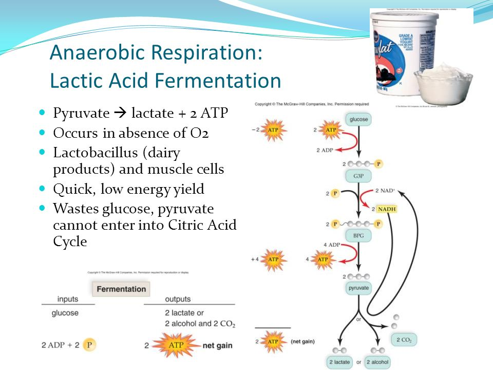 Anaerobic Respiration: Lactic Acid Fermentation Pyruvate  lactate + 2 ATP Occurs in absence of O2 Lactobacillus (dairy products) and muscle cells Qui