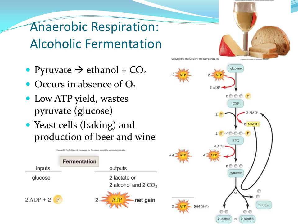 Anaerobic Respiration: Alcoholic Fermentation Pyruvate  ethanol + CO 2 Occurs in absence of O 2 Low ATP yield, wastes pyruvate (glucose) Yeast cells