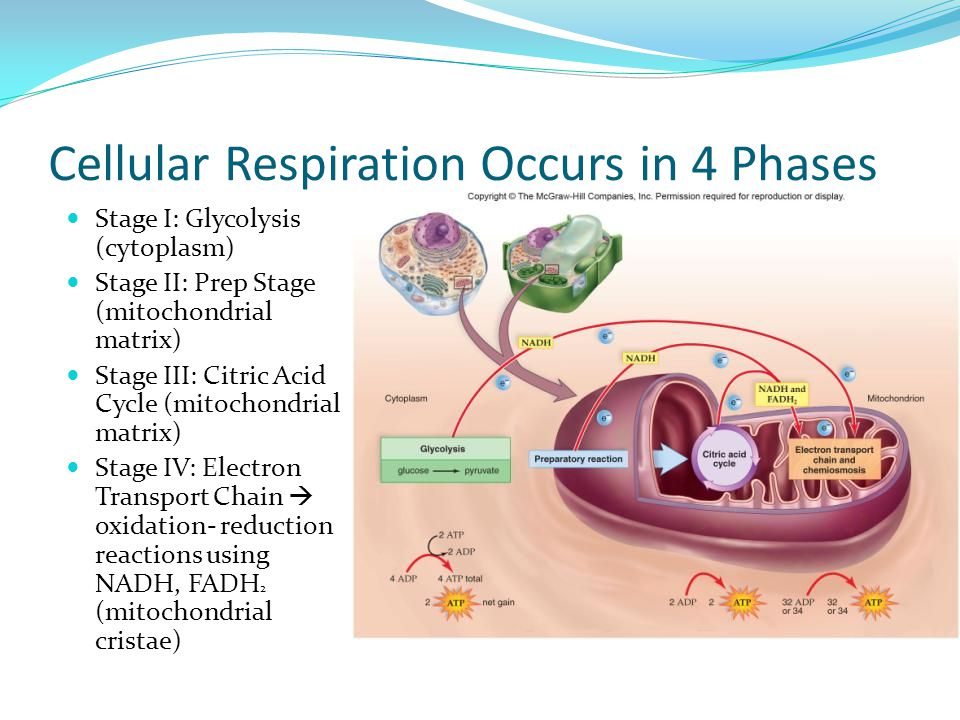 Cellular Respiration Occurs in 4 Phases Stage I: Glycolysis (cytoplasm) Stage II: Prep Stage (mitochondrial matrix) Stage III: Citric Acid Cycle (mitochondrial matrix) Stage IV: Electron Transport Chain  oxidation- reduction reactions using NADH, FADH 2 (mitochondrial cristae)