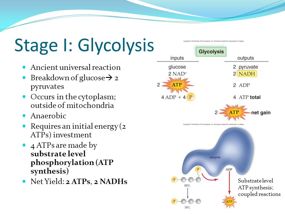 Stage I: Glycolysis Ancient universal reaction Breakdown of glucose  2 pyruvates Occurs in the cytoplasm; outside of mitochondria Anaerobic Requires