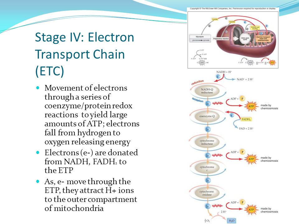 Stage IV: Electron Transport Chain (ETC) Movement of electrons through a series of coenzyme/protein redox reactions to yield large amounts of ATP; electrons fall from hydrogen to oxygen releasing energy Electrons (e-) are donated from NADH, FADH 2 to the ETP As, e- move through the ETP, they attract H+ ions to the outer compartment of mitochondria