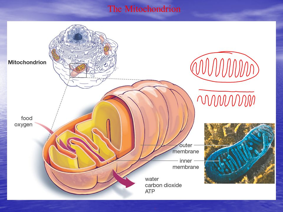 Mitochondria continued C. Numerous and can reproduce themselves.