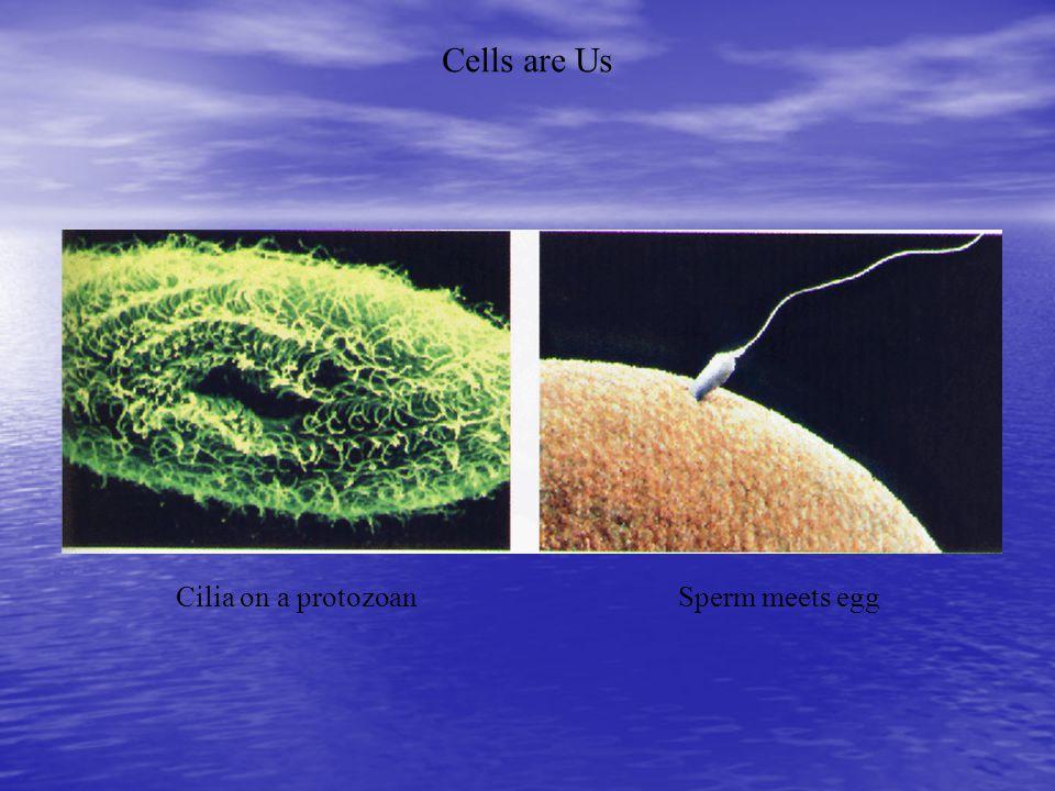Cilia and Flagella continued b.
