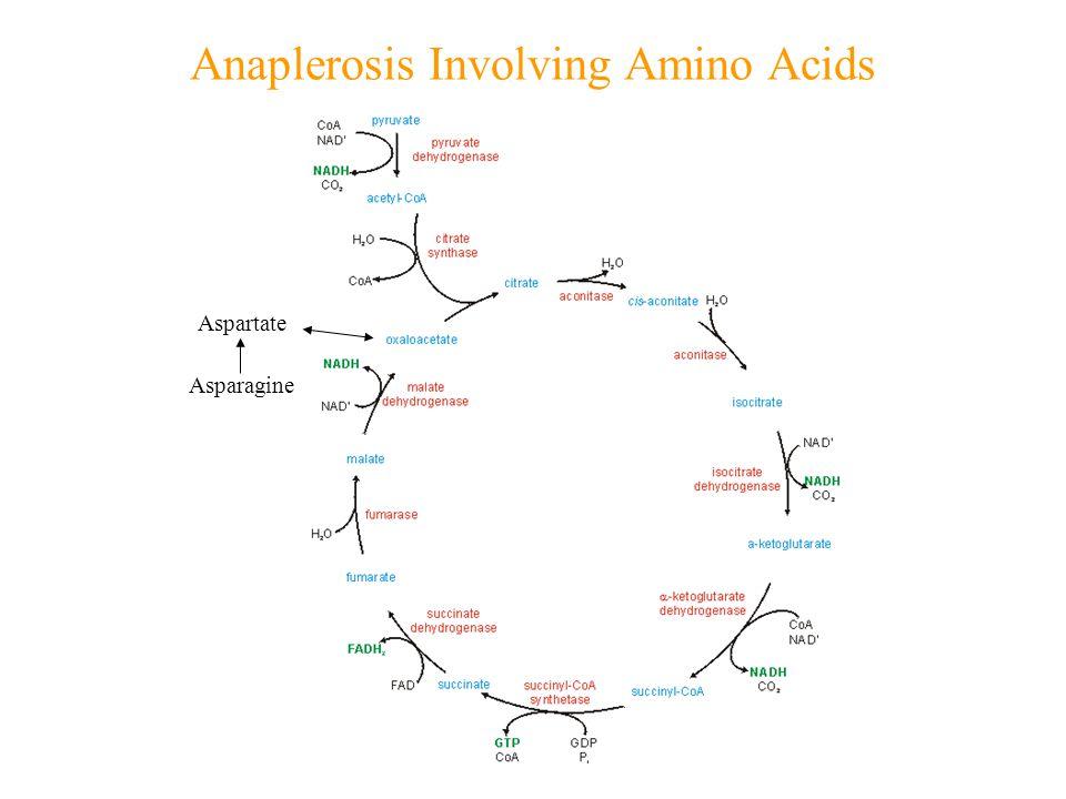 Anaplerosis Involving Amino Acids Aspartate Asparagine