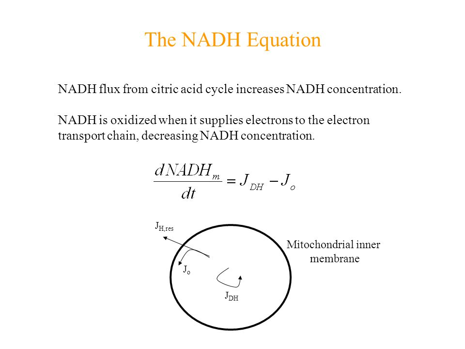 The NADH Equation NADH flux from citric acid cycle increases NADH concentration.