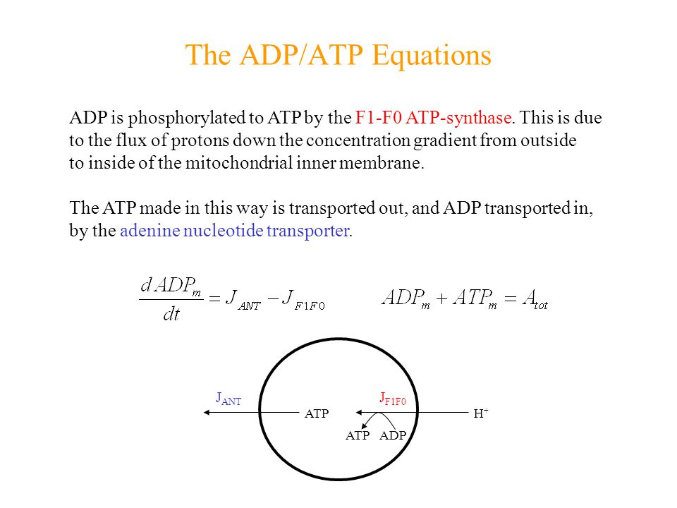 The ADP/ATP Equations ADP is phosphorylated to ATP by the F1-F0 ATP-synthase.
