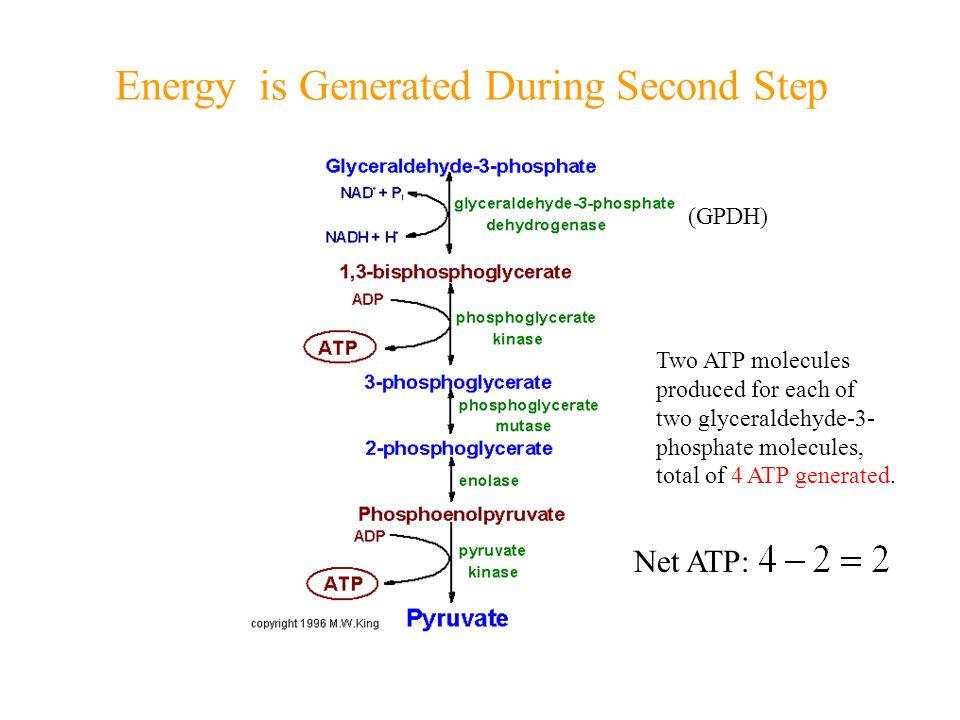 Anaplerosis Involving Amino Acids Phenylalanine Tyrosine