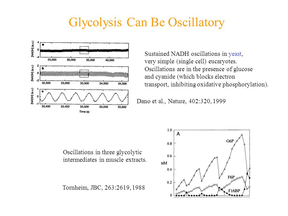 Glycolysis Can Be Oscillatory Sustained NADH oscillations in yeast, very simple (single cell) eucaryotes.