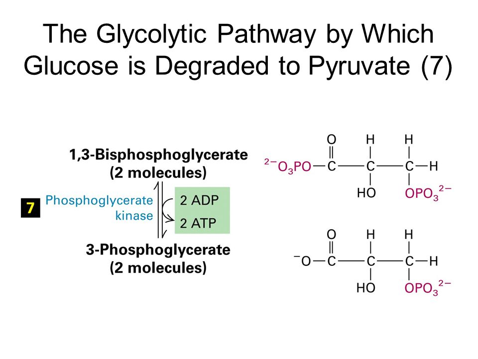 The Glycolytic Pathway by Which Glucose is Degraded to Pyruvate (7)