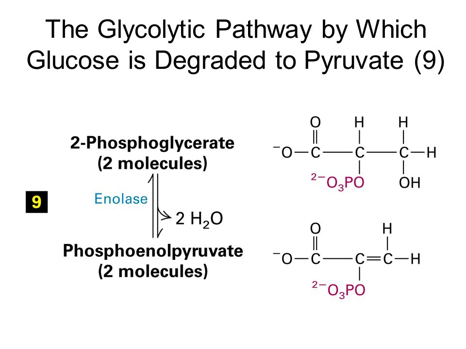 The Glycolytic Pathway by Which Glucose is Degraded to Pyruvate (9)