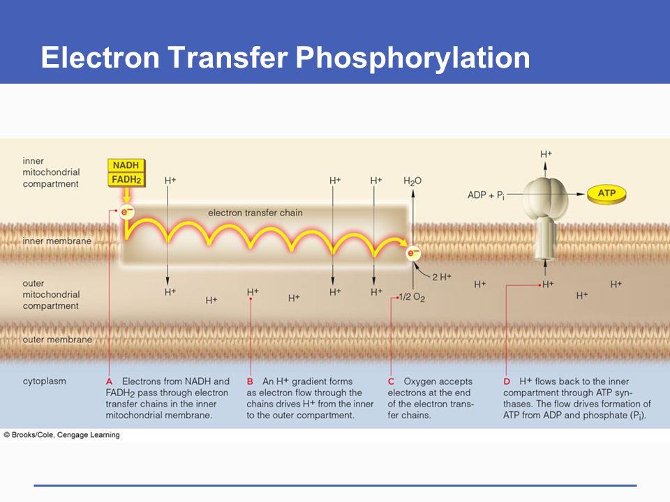 Electron Transfer Phosphorylation