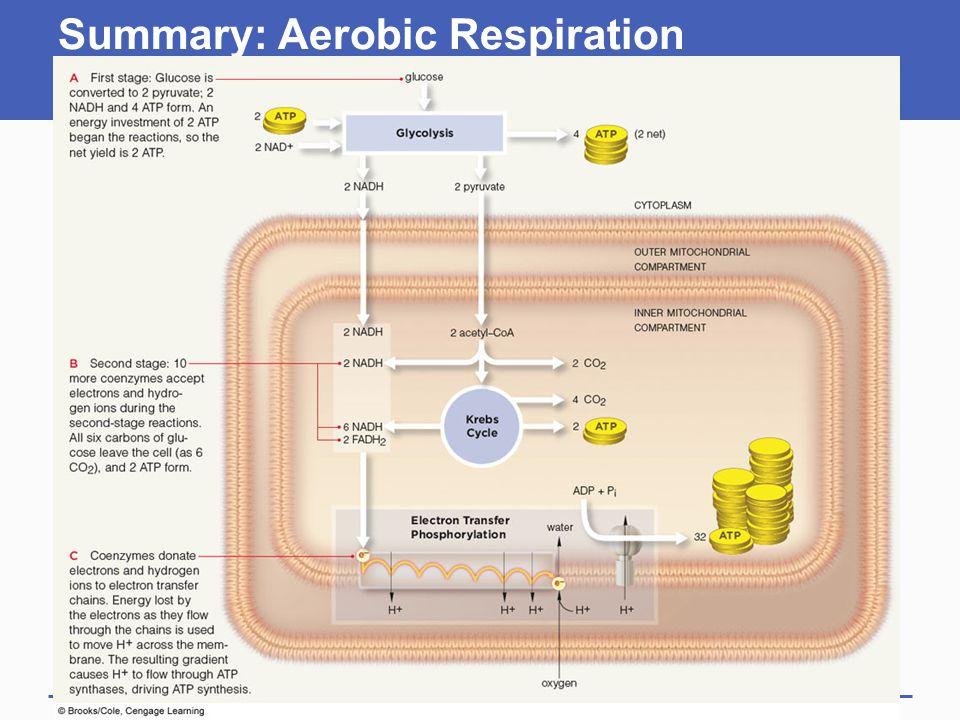 Summary: Aerobic Respiration