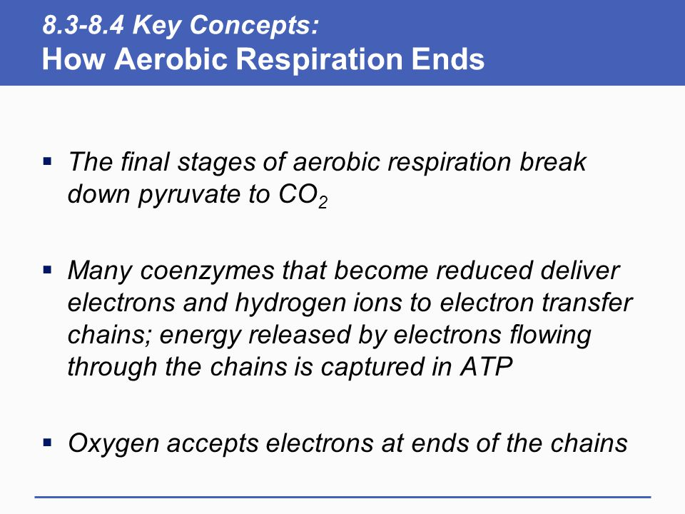 8.3-8.4 Key Concepts: How Aerobic Respiration Ends  The final stages of aerobic respiration break down pyruvate to CO 2  Many coenzymes that become reduced deliver electrons and hydrogen ions to electron transfer chains; energy released by electrons flowing through the chains is captured in ATP  Oxygen accepts electrons at ends of the chains