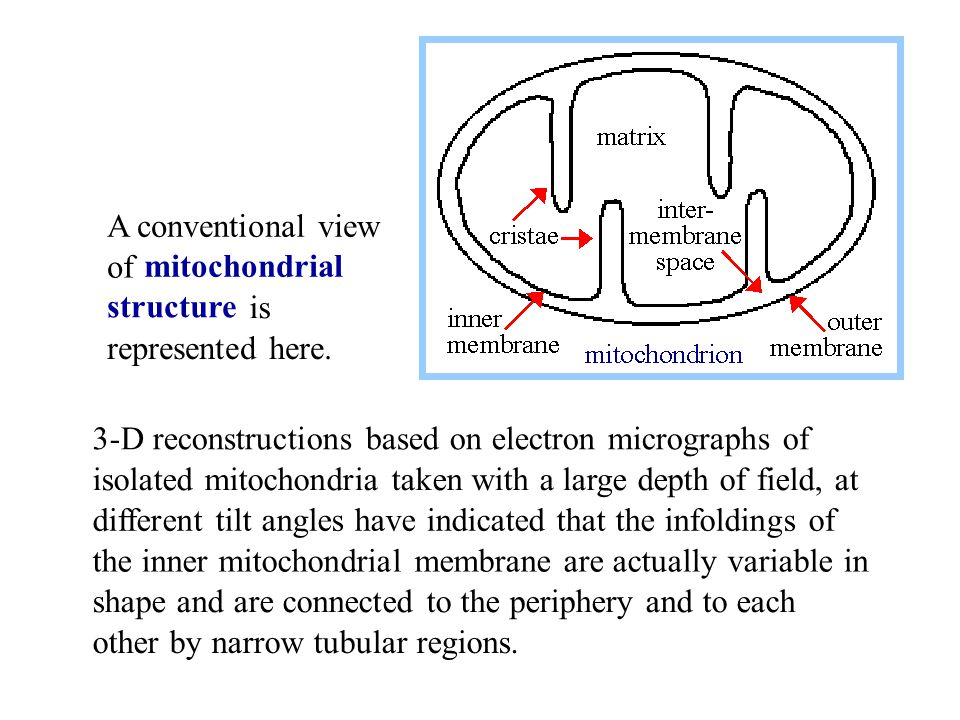 3-D reconstructions based on electron micrographs of isolated mitochondria taken with a large depth of field, at different tilt angles have indicated that the infoldings of the inner mitochondrial membrane are actually variable in shape and are connected to the periphery and to each other by narrow tubular regions.