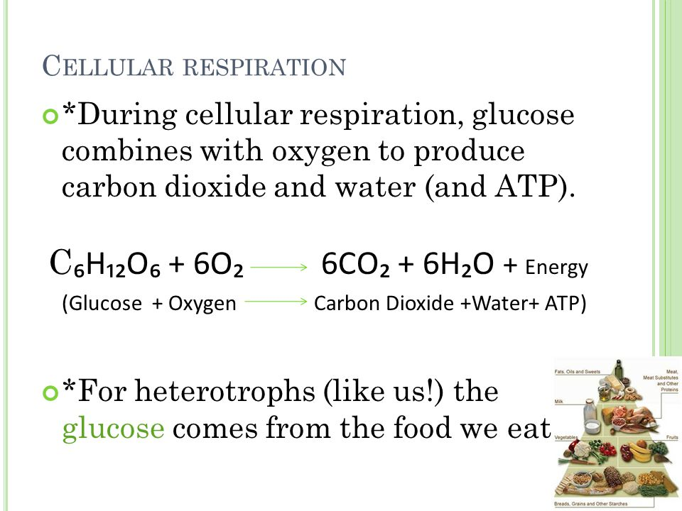 Chlorophyll is found in the chloroplasts -> an organelle found only in plant cells Mesophyll Cell