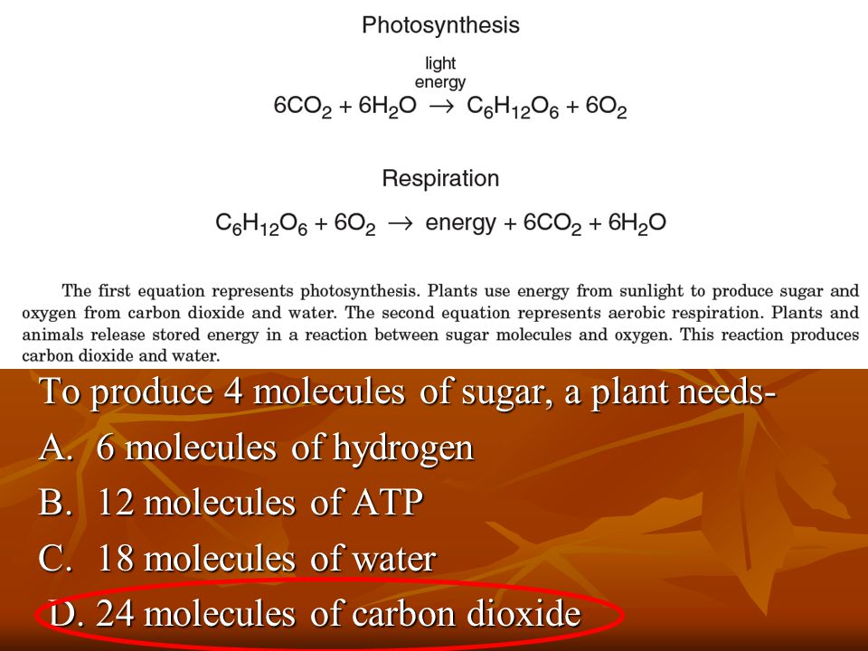 To produce 4 molecules of sugar, a plant needs- To produce 4 molecules of sugar, a plant needs- A.6 molecules of hydrogen A.6 molecules of hydrogen B.12 molecules of ATP B.12 molecules of ATP C.18 molecules of water C.18 molecules of water D.24 molecules of carbon dioxide D.24 molecules of carbon dioxide