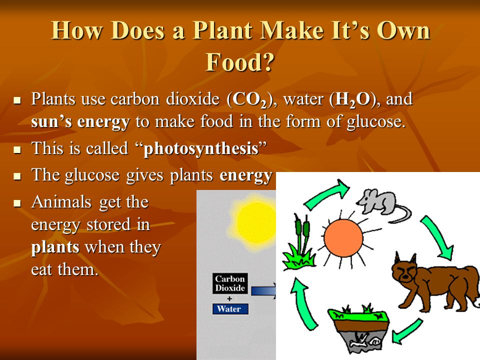How Does a Plant Make It's Own Food.