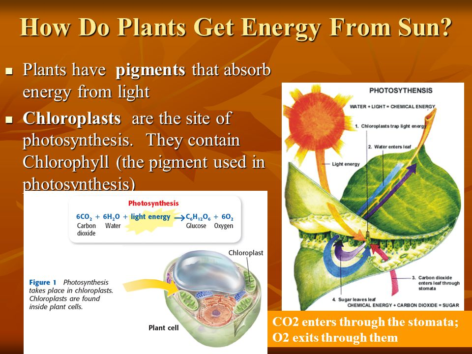 How Do Plants Get Energy From Sun.