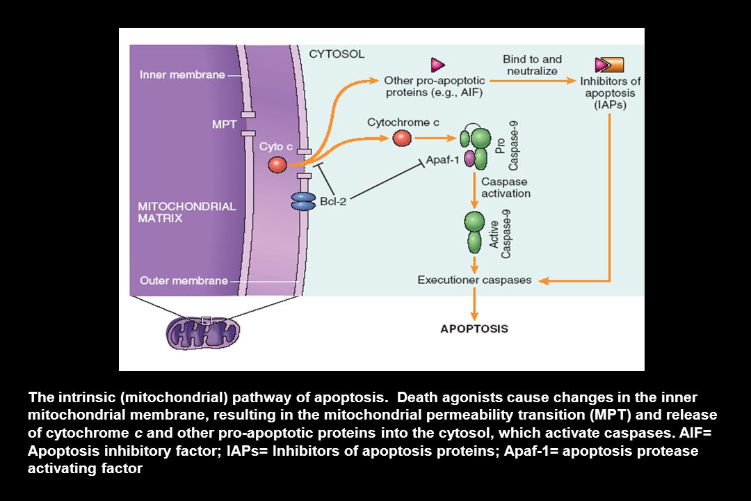 The intrinsic (mitochondrial) pathway of apoptosis.