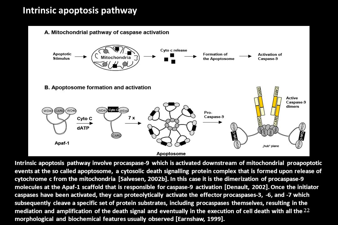 Intrinsic apoptosis pathway Intrinsic apoptosis pathway involve procaspase-9 which is activated downstream of mitochondrial proapoptotic events at the so called apoptosome, a cytosolic death signalling protein complex that is formed upon release of cytochrome c from the mitochondria [Salvesen, 2002b].