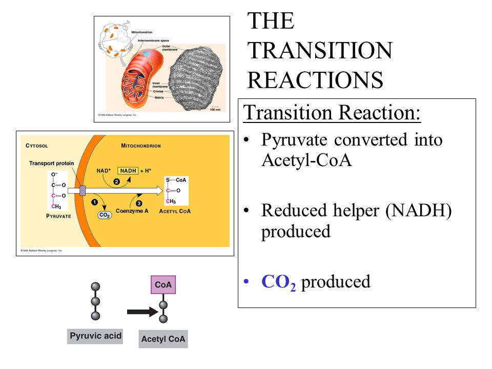 THE TRANSITION REACTIONS Transition Reaction: Pyruvate converted into Acetyl-CoA Reduced helper (NADH) produced CO 2 produced