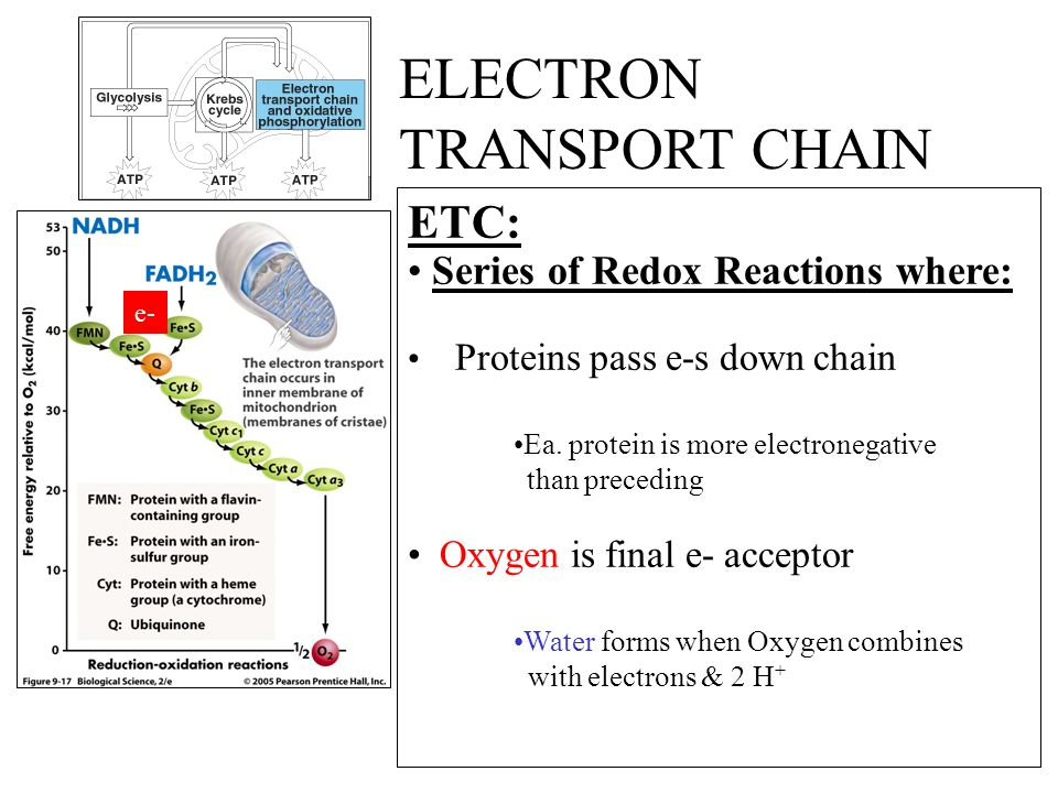 ETC: Series of Redox Reactions where: Proteins pass e-s down chain Ea.