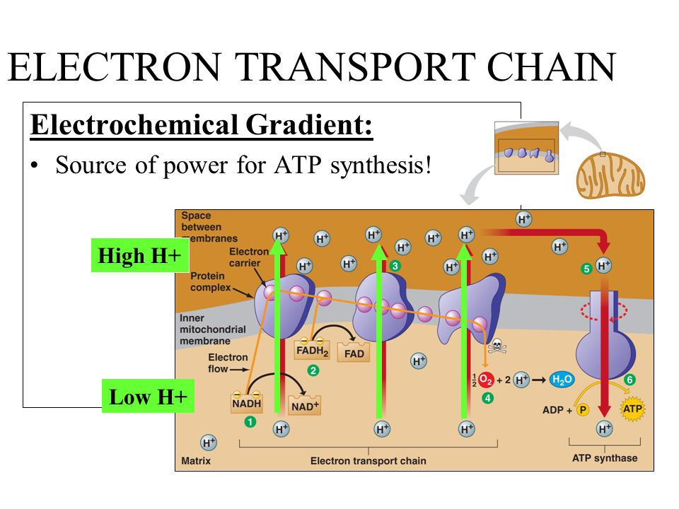 ELECTRON TRANSPORT CHAIN Electrochemical Gradient: Source of power for ATP synthesis.