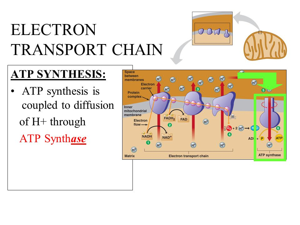 ELECTRON TRANSPORT CHAIN ATP SYNTHESIS: ATP synthesis is coupled to diffusion of H+ through ATP Synthase