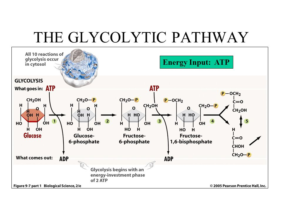 THE GLYCOLYTIC PATHWAY Energy Input: ATP