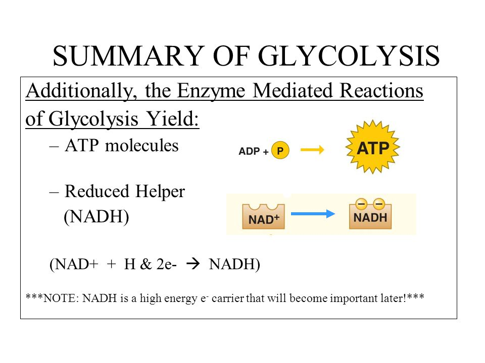 SUMMARY OF GLYCOLYSIS Additionally, the Enzyme Mediated Reactions of Glycolysis Yield: –ATP molecules –Reduced Helper (NADH) (NAD+ + H & 2e-  NADH) ***NOTE: NADH is a high energy e - carrier that will become important later!***