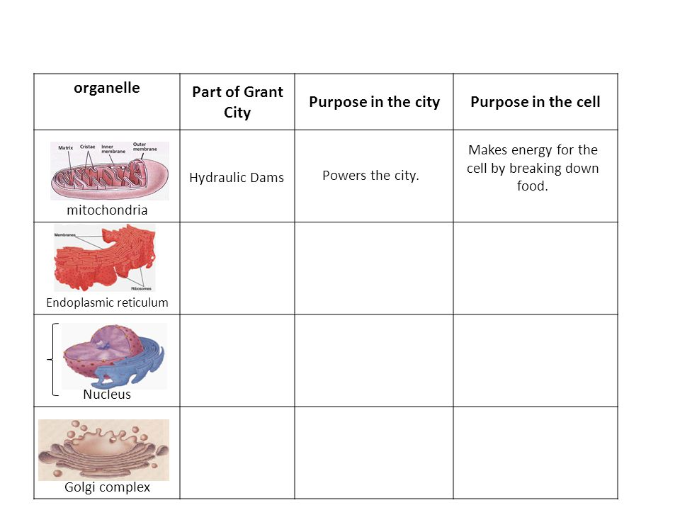organelle Part of Grant City Purpose in the cityPurpose in the cell mitochondria Endoplasmic reticulum Nucleus Golgi complex Hydraulic Dams Powers the city.