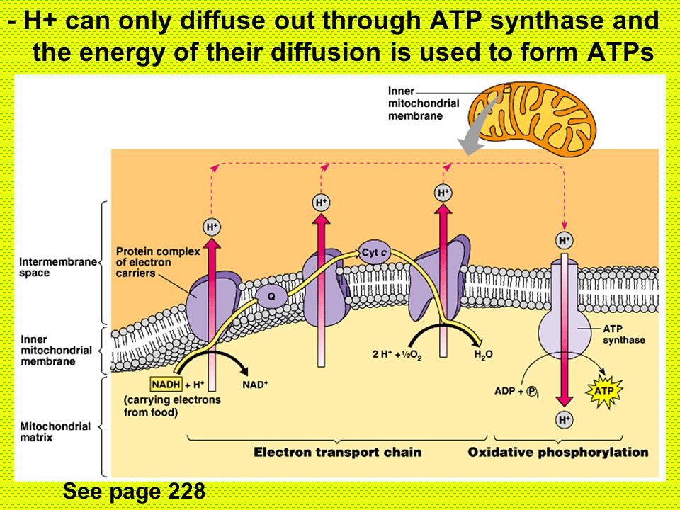 - H+ can only diffuse out through ATP synthase and the energy of their diffusion is used to form ATPs See page 228