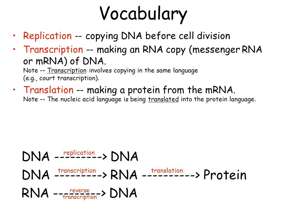 Vocabulary Replication -- copying DNA before cell division Transcription -- making an RNA copy (messenger RNA or mRNA) of DNA.