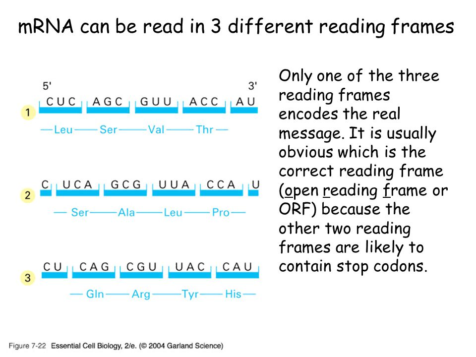 mRNA can be read in 3 different reading frames Only one of the three reading frames encodes the real message.