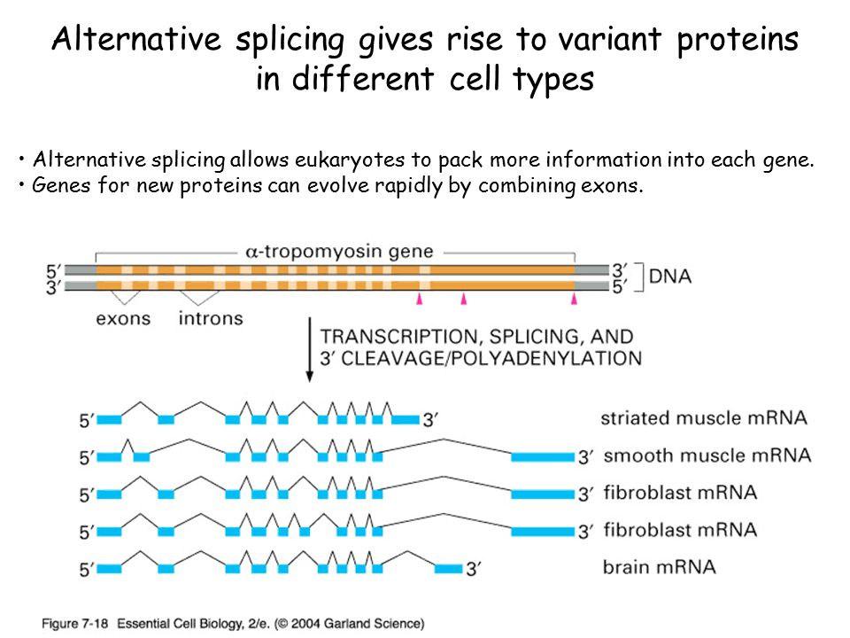 Alternative splicing gives rise to variant proteins in different cell types Alternative splicing allows eukaryotes to pack more information into each gene.