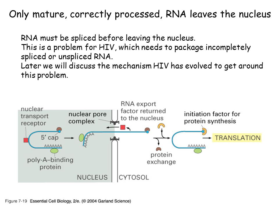 Only mature, correctly processed, RNA leaves the nucleus RNA must be spliced before leaving the nucleus.