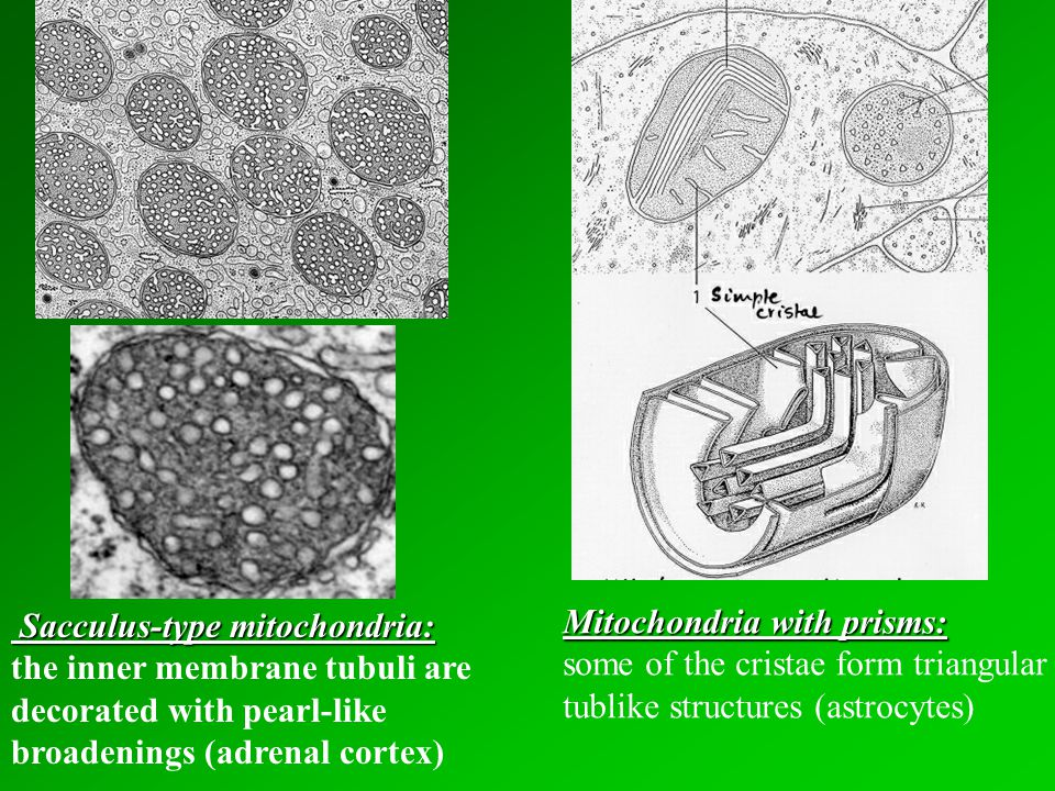 Sacculus-type mitochondria: Sacculus-type mitochondria: the inner membrane tubuli are decorated with pearl-like broadenings (adrenal cortex) Mitochondria with prisms: some of the cristae form triangular tublike structures (astrocytes)