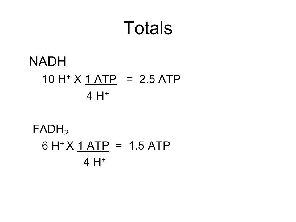 Totals NADH 10 H + X 1 ATP = 2.5 ATP 4 H + FADH 2 6 H + X 1 ATP = 1.5 ATP 4 H +