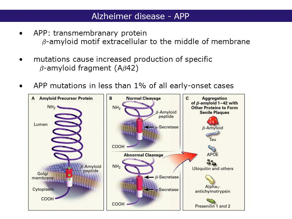 2° lic Biomedische Wetenschappen 2006 - 2007 Alzheimer disease - APP APP: transmembranary protein -amyloid motif extracellular to the middle of membrane mutations cause increased production of specific -amyloid fragment (A42) APP mutations in less than 1% of all early-onset cases