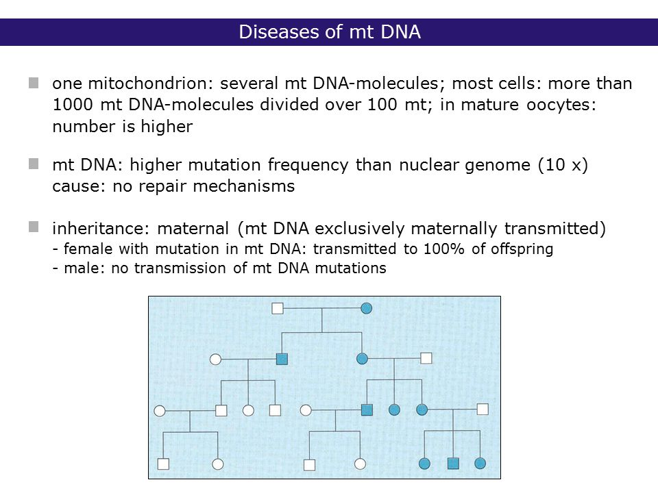 one mitochondrion: several mt DNA-molecules; most cells: more than 1000 mt DNA-molecules divided over 100 mt; in mature oocytes: number is higher mt DNA: higher mutation frequency than nuclear genome (10 x) cause: no repair mechanisms inheritance: maternal (mt DNA exclusively maternally transmitted) - female with mutation in mt DNA: transmitted to 100% of offspring - male: no transmission of mt DNA mutations Diseases of mt DNA