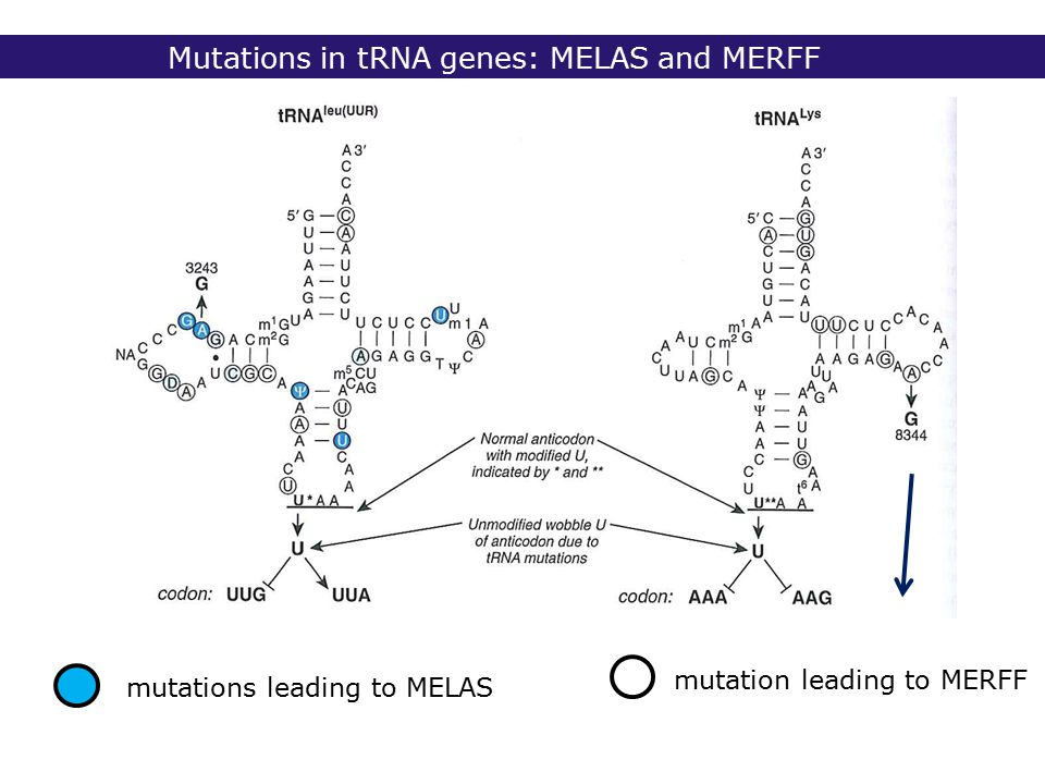 Mutations in tRNA genes: MELAS and MERFF mutations leading to MELAS mutation leading to MERFF